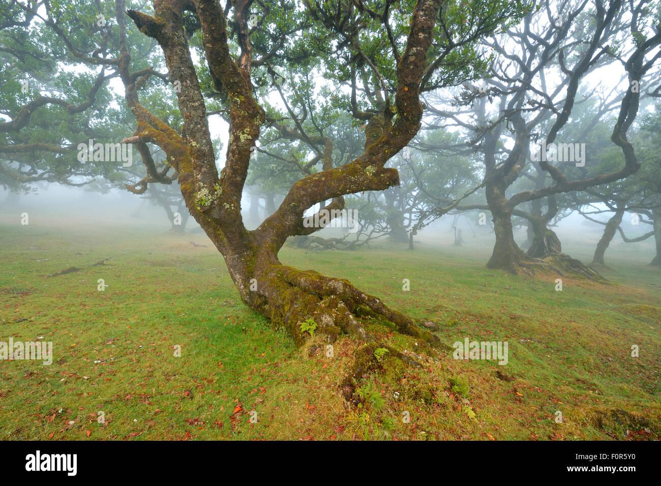 Alten Lorbeerwald oder Lorbeerwald, Stinkwood (Ocotea Foetens) Bäume im Nebel, UNESCO-Weltkulturerbe, Atelier, Stockbild