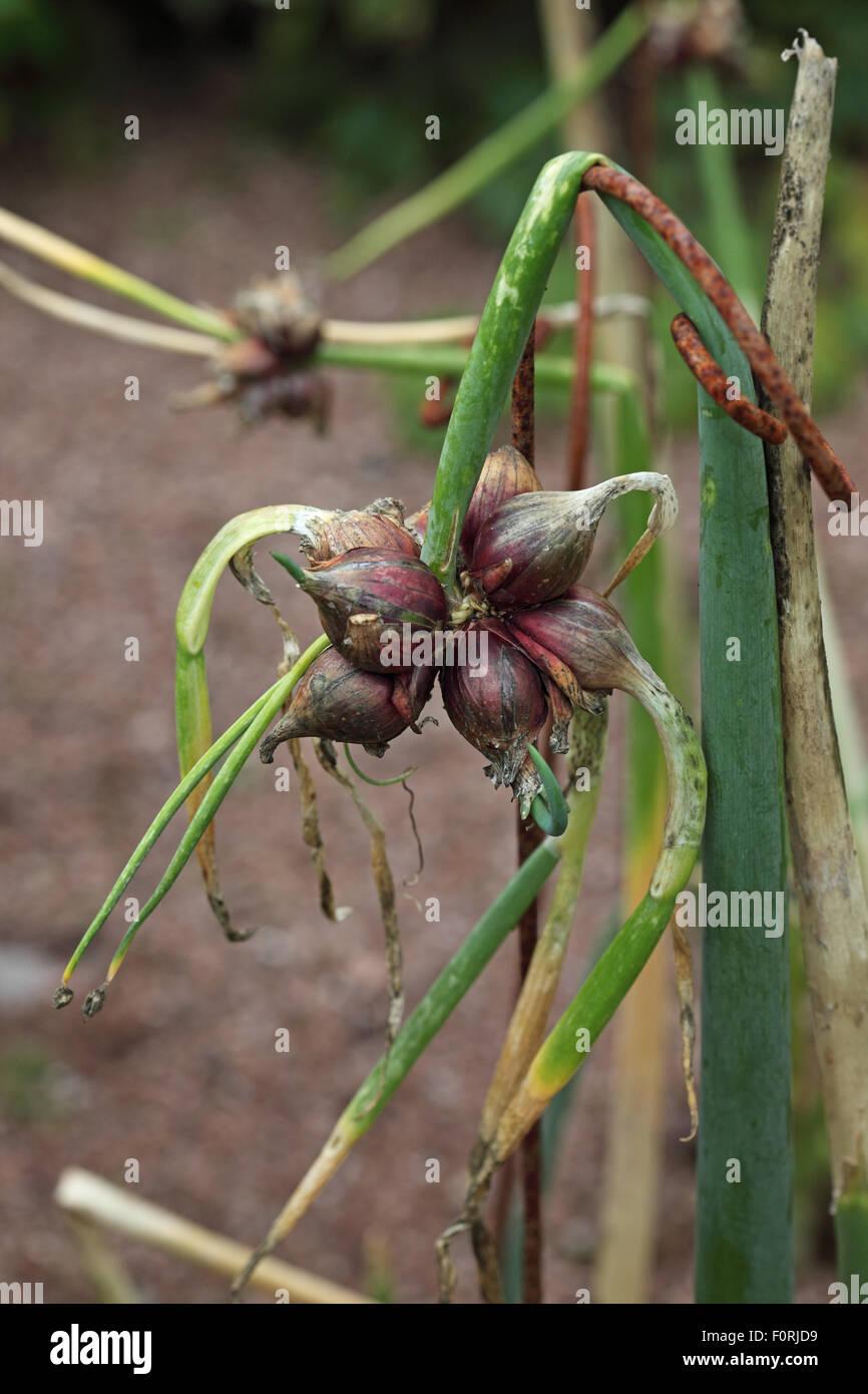 Allium Cepa Baum Zwiebel Nahaufnahme reife Birne Stockbild