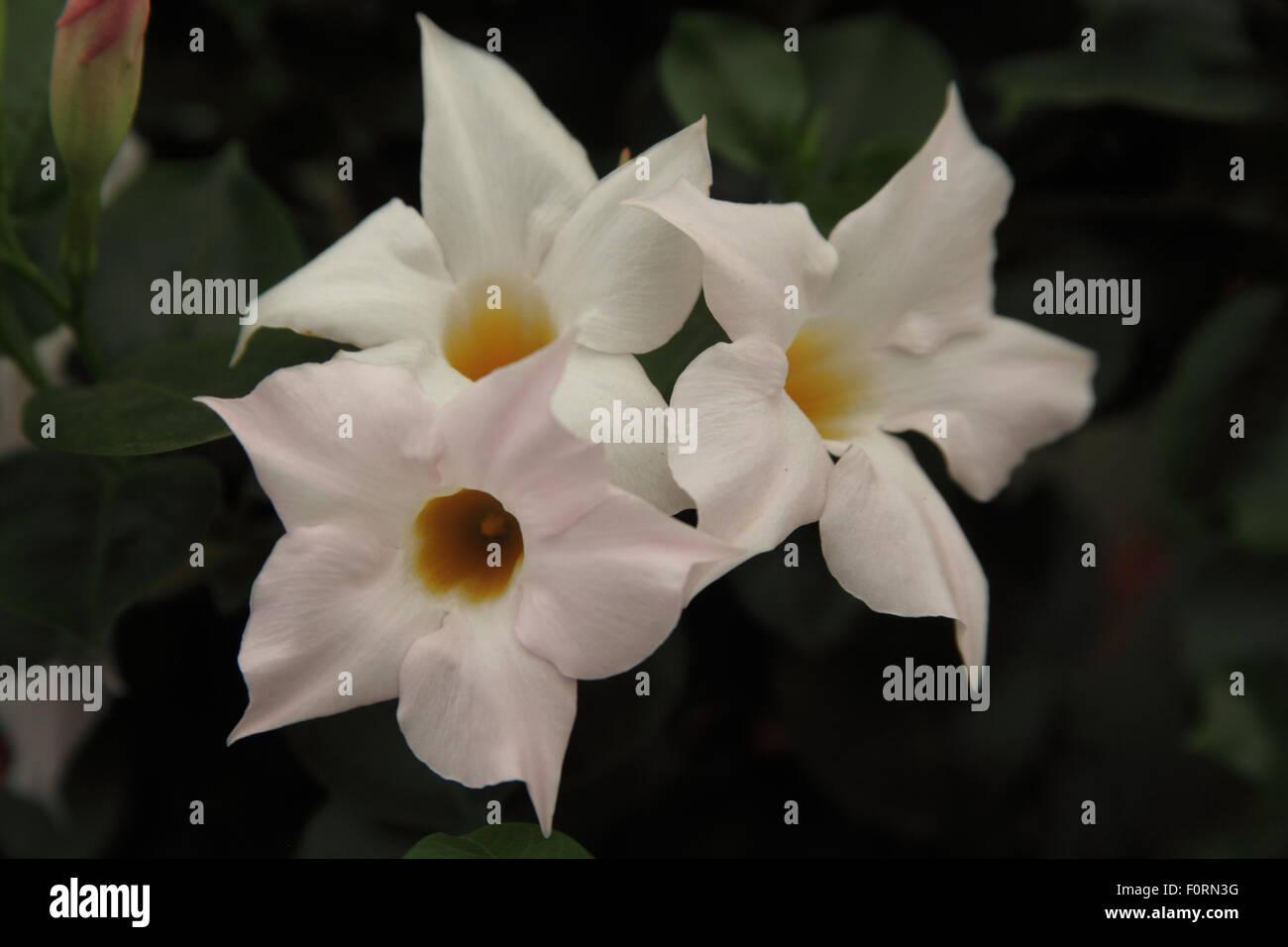 Mandevilla 'White Blush' Nahaufnahme Blume Stockbild
