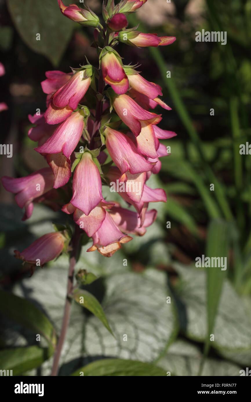 """Digitalis """"Beleuchtung"""" Nahaufnahme von Blumen Stockbild"""