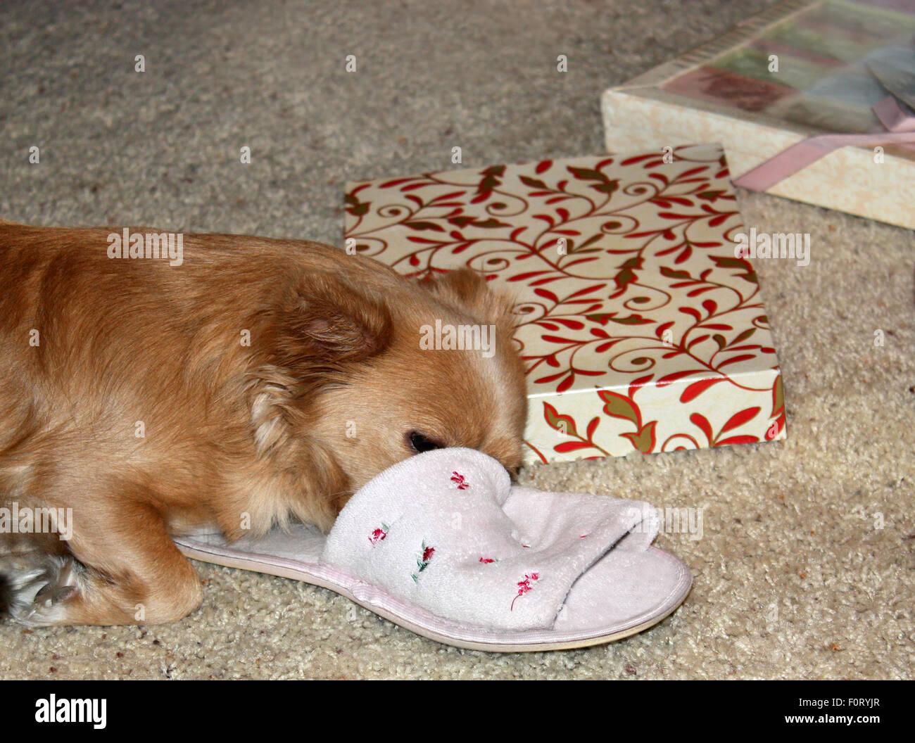 Susse Langhaar Chihuahua Schlafen Auf Pantoffel In Der Nahe Von Prasentiert Stockfotografie Alamy