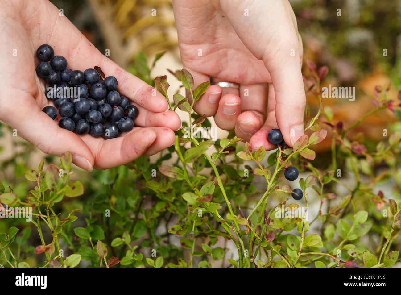 Heidelbeeren pflücken. Frau nördliche Waldbeeren sammeln. Zupfen. Stockfoto