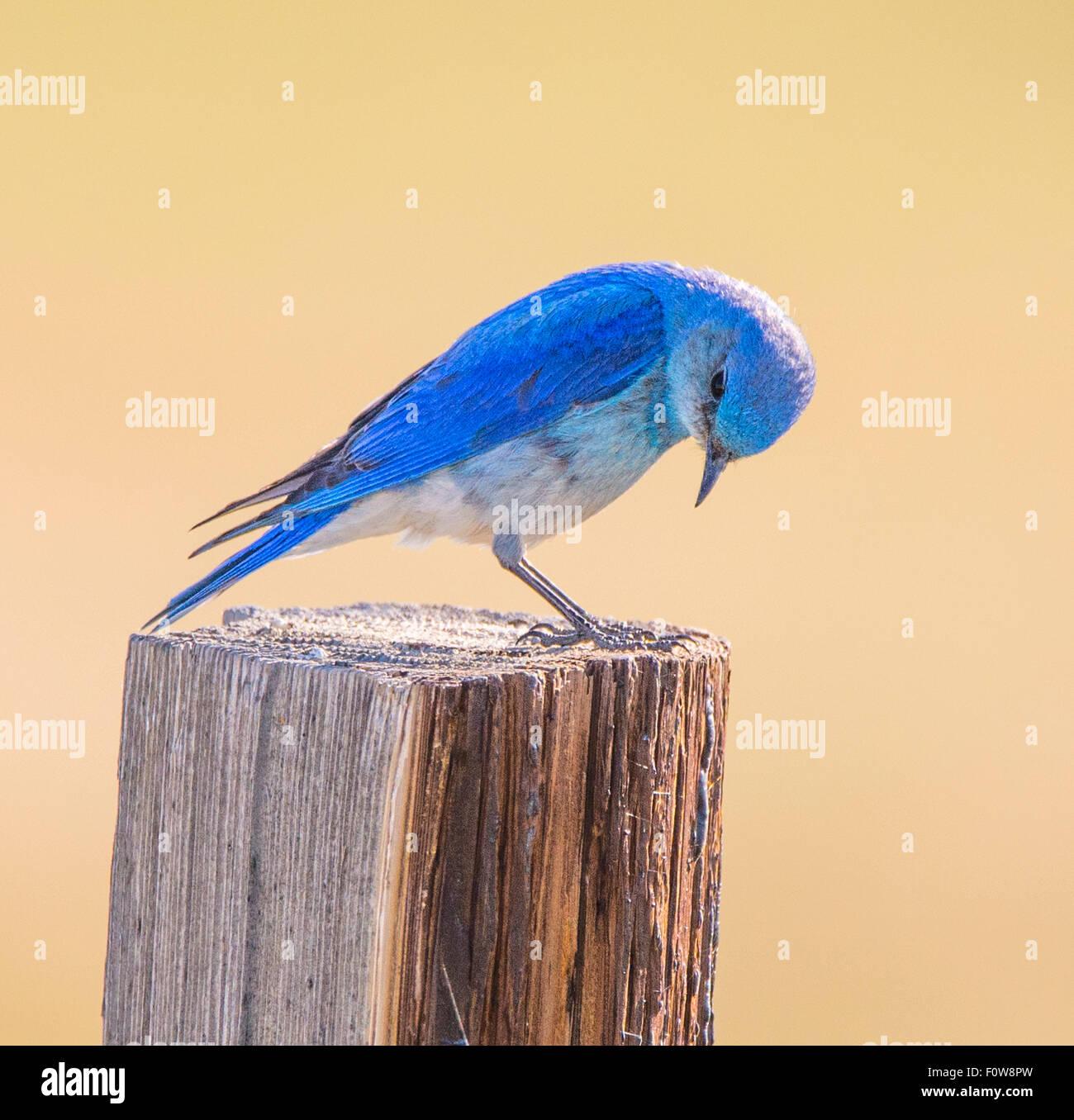 Vögel, männlichen Mountain Blue Bird thront auf einem Zaunpfahl, Yellowstone-Nationalpark, Wyoming Stockbild