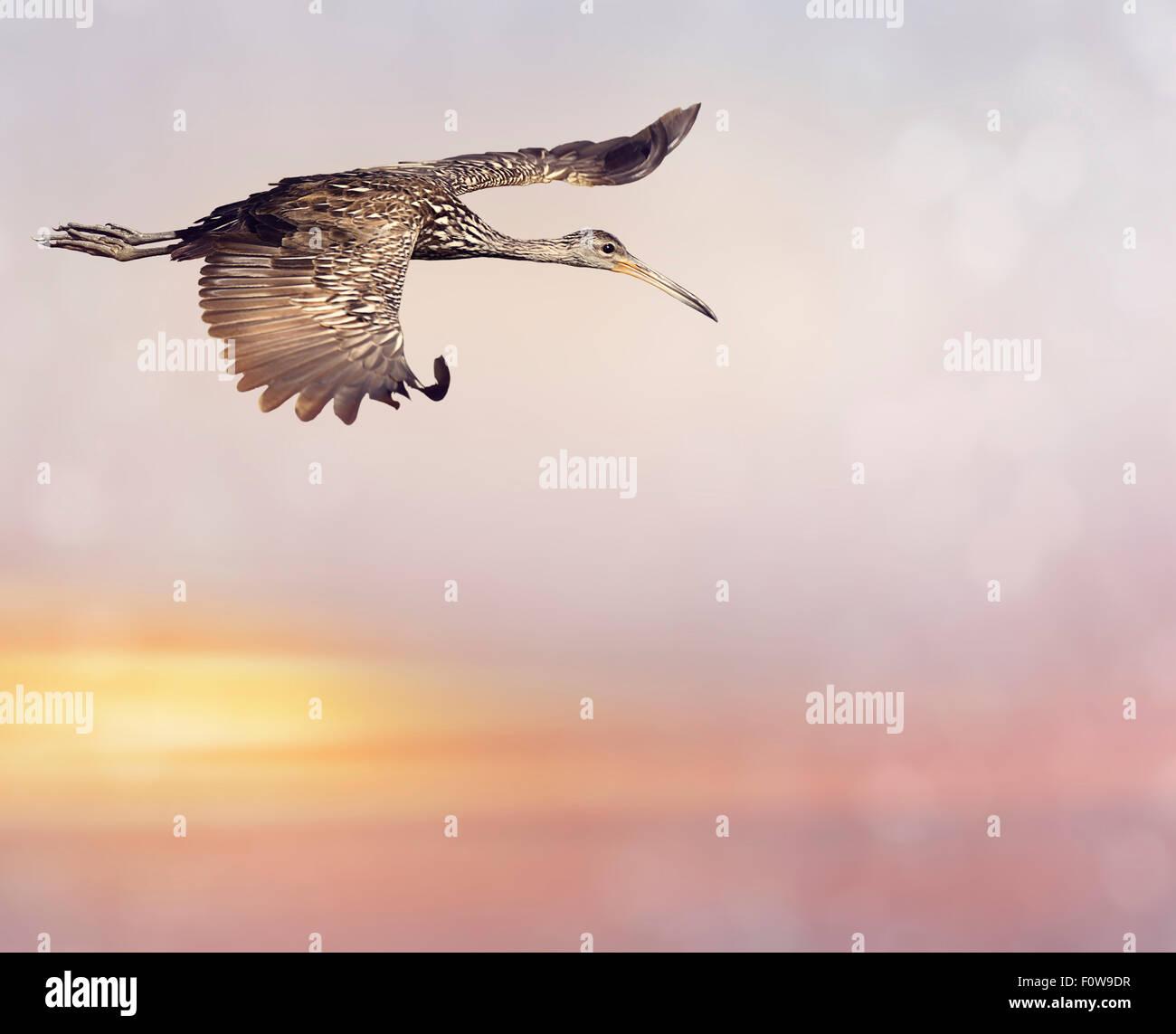 Limpkin Vogel im Flug bei Sonnenuntergang Stockbild