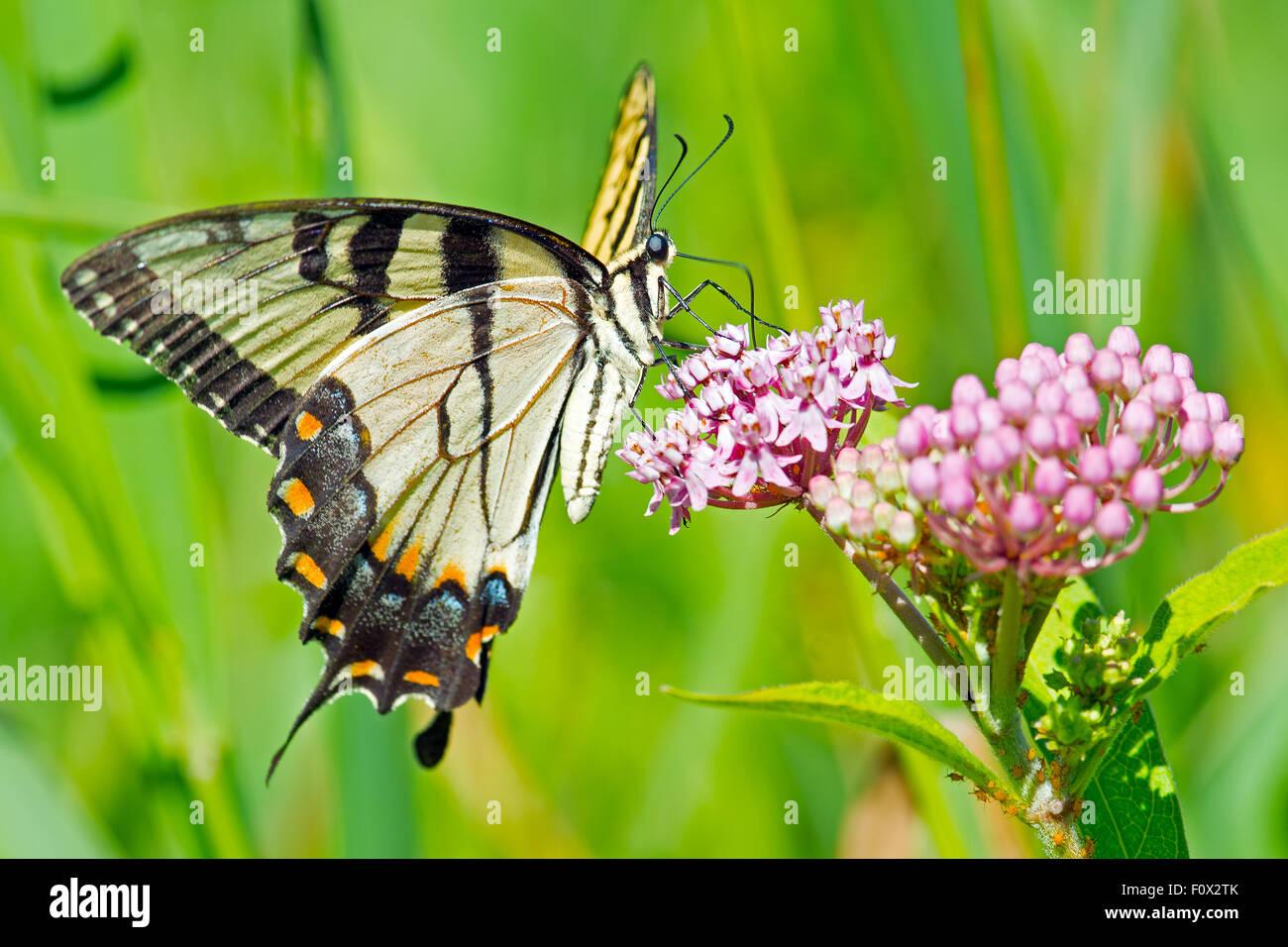 Tiger Schwalbenschwanz Schmetterling Fütterung auf Blumen Stockbild