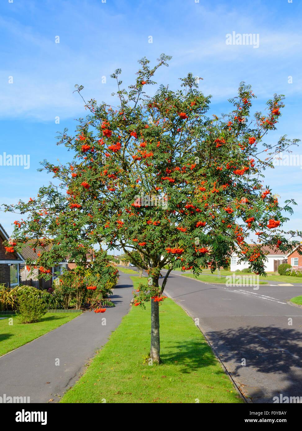 Sorbus aucuparia (Eberesche, Mountain-Ash tree) von der Seite der Straße in einem Wohngebiet in England, Großbritannien. Stockbild