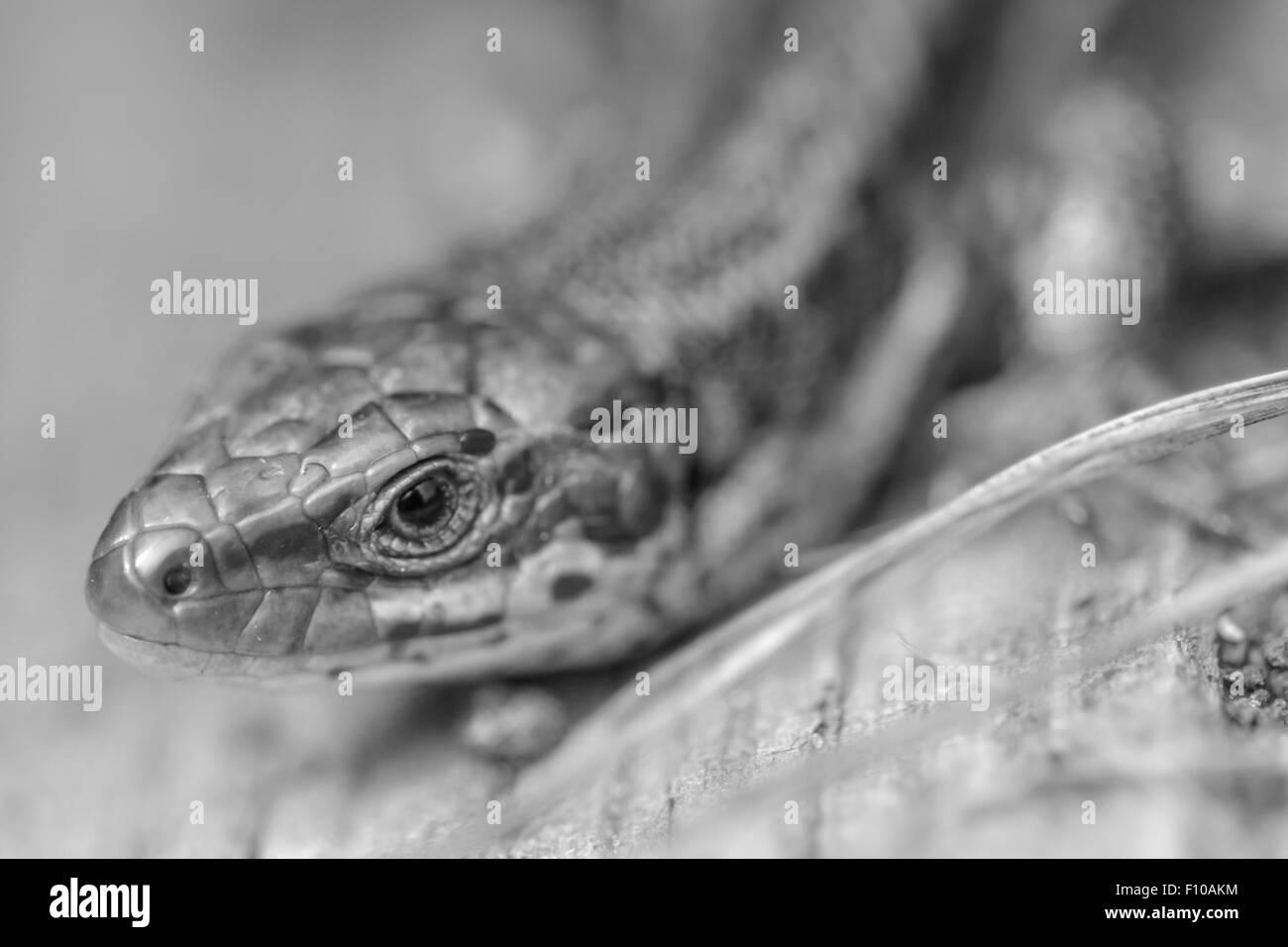 Schwarz / weiss Portrait einer gemeinsamen Eidechse. Stockfoto