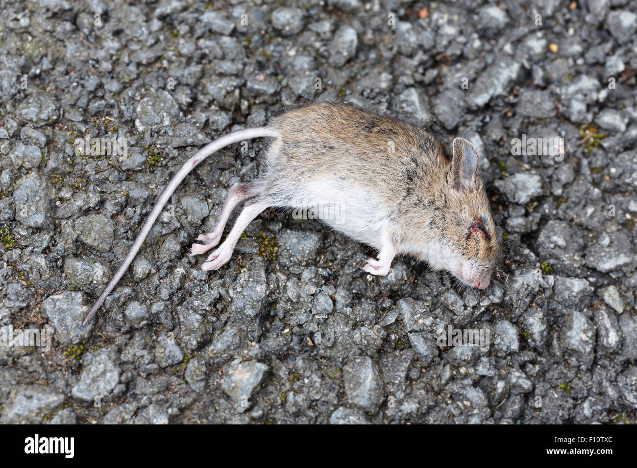 dead rat poisoned stockfotos dead rat poisoned bilder alamy. Black Bedroom Furniture Sets. Home Design Ideas