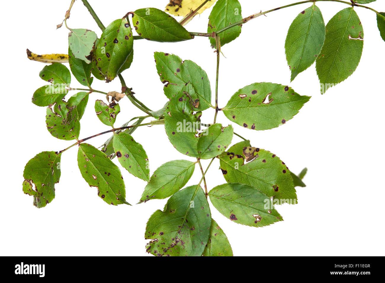Rose Anthraknose (Sphaceloma Rosarum) Krankheitssymptome auf Rosenblättern Stockbild