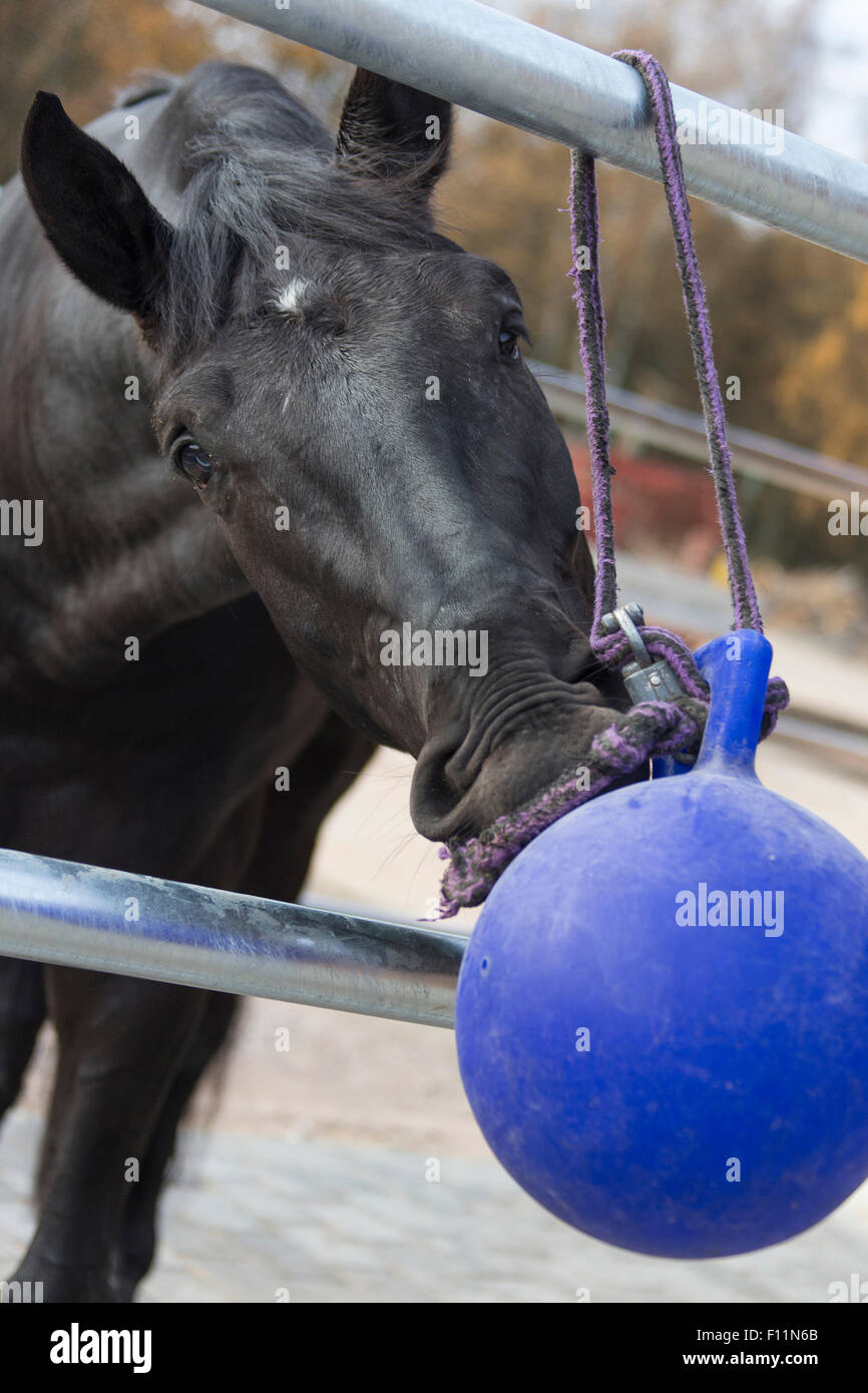 Schwarzes Pferd beim Ballspielen Stockbild