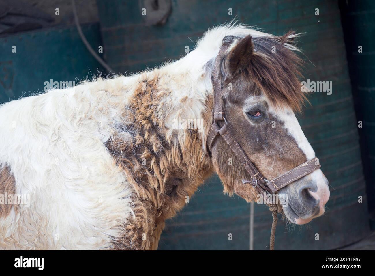 Inländische Pferd alte Pony Cushing-Syndrom leiden Stockbild