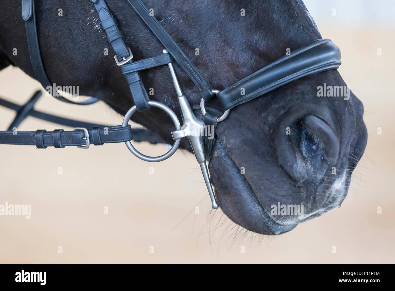 Warmblut Pferd Schwarz Erwachsene Trense Wangen Stockbild