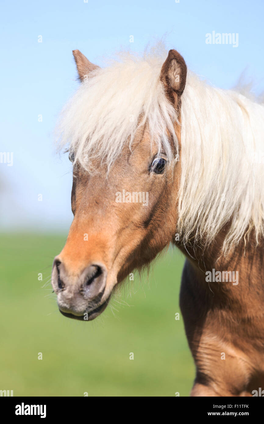 Deutsche Classic Pony Portrait Ypung Kastanien Hengst Stockbild