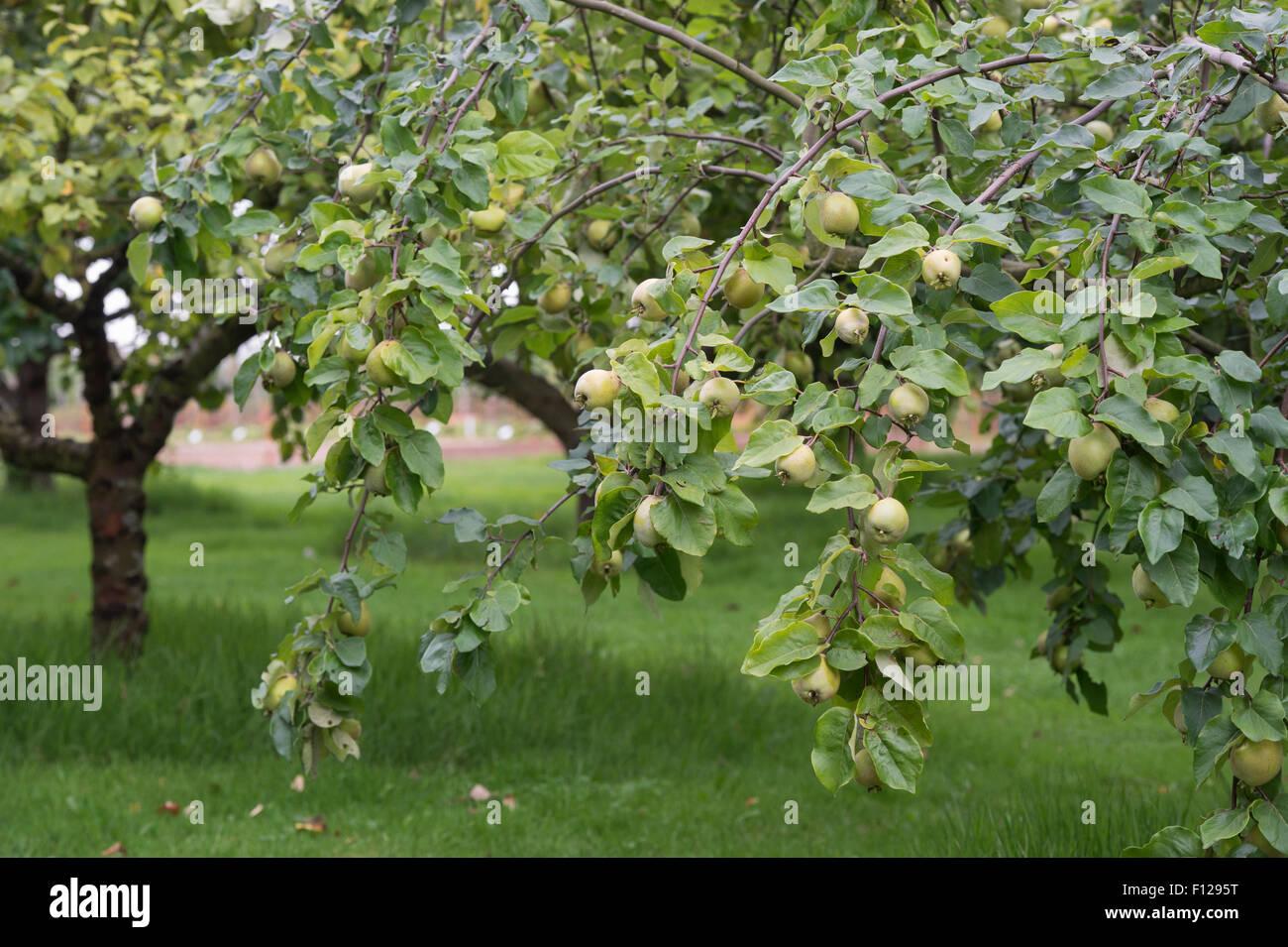 Cydonia länglich. Aromatnaya Quitte Fruchtreife auf dem Baum Stockbild