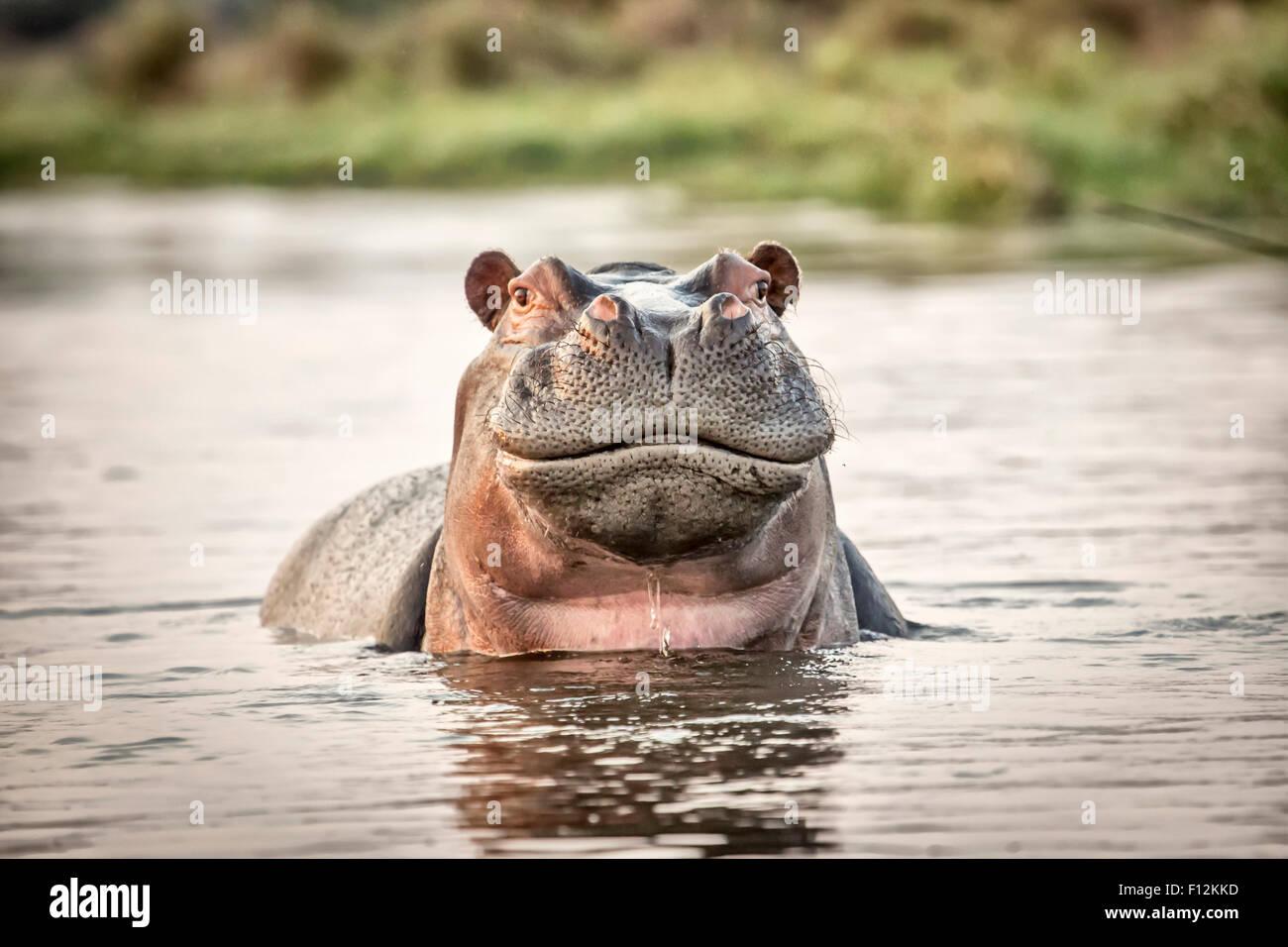Wildlife Safari: Leiter der Flusspferd (Hippopotamus Amphibius) mit einem amüsanten Ausdruck in einem See, Stockbild