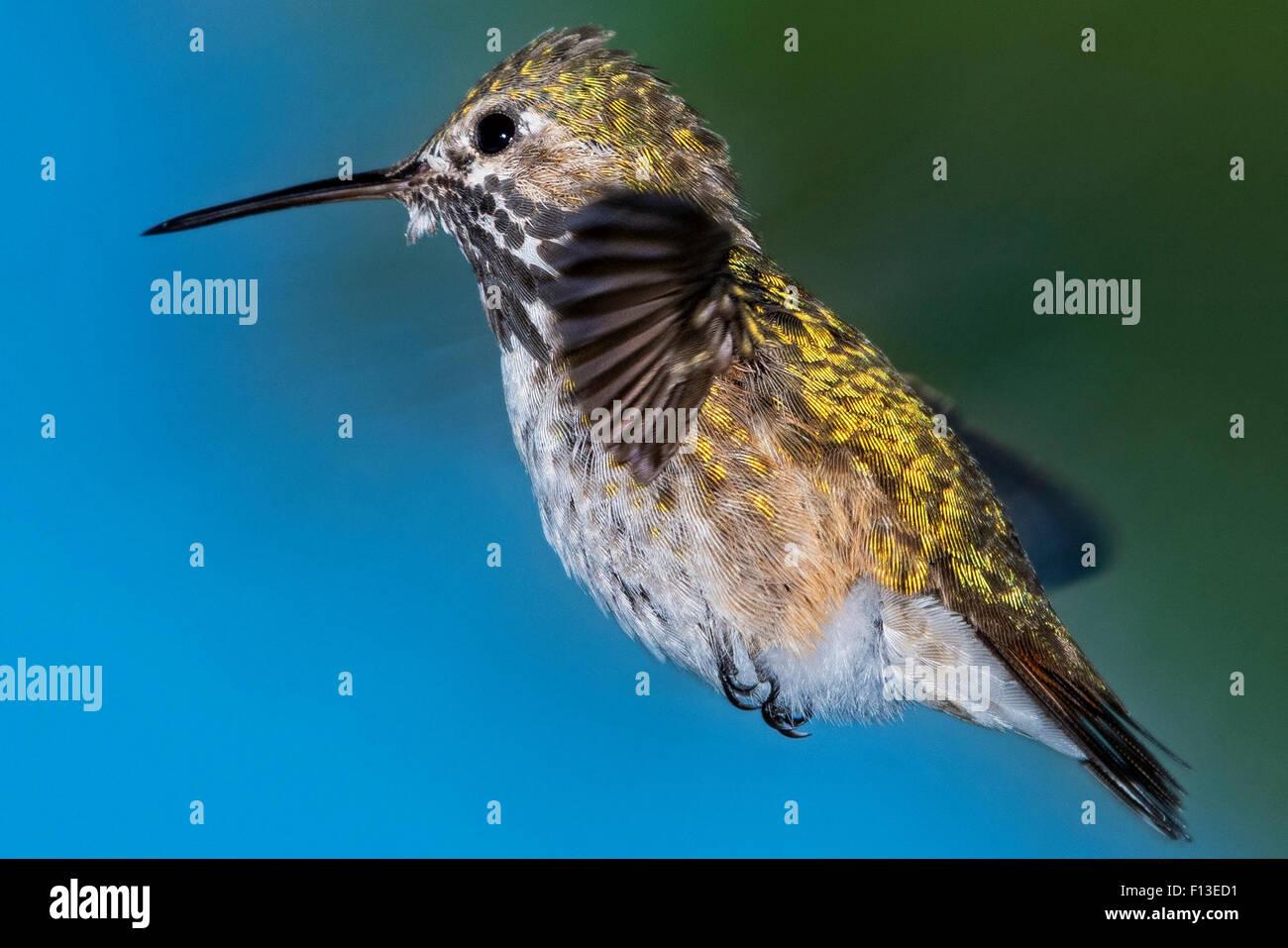 Porträt eines Calliope Kolibris schwebt in der Luft Stockbild
