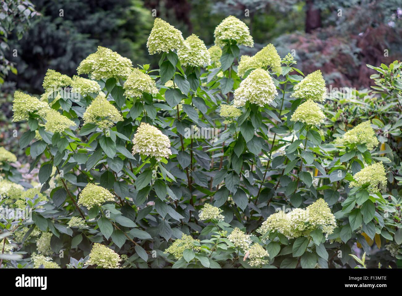 Grünlich weißen Hortensie Blüte Strauch in voller Blüte Stockbild