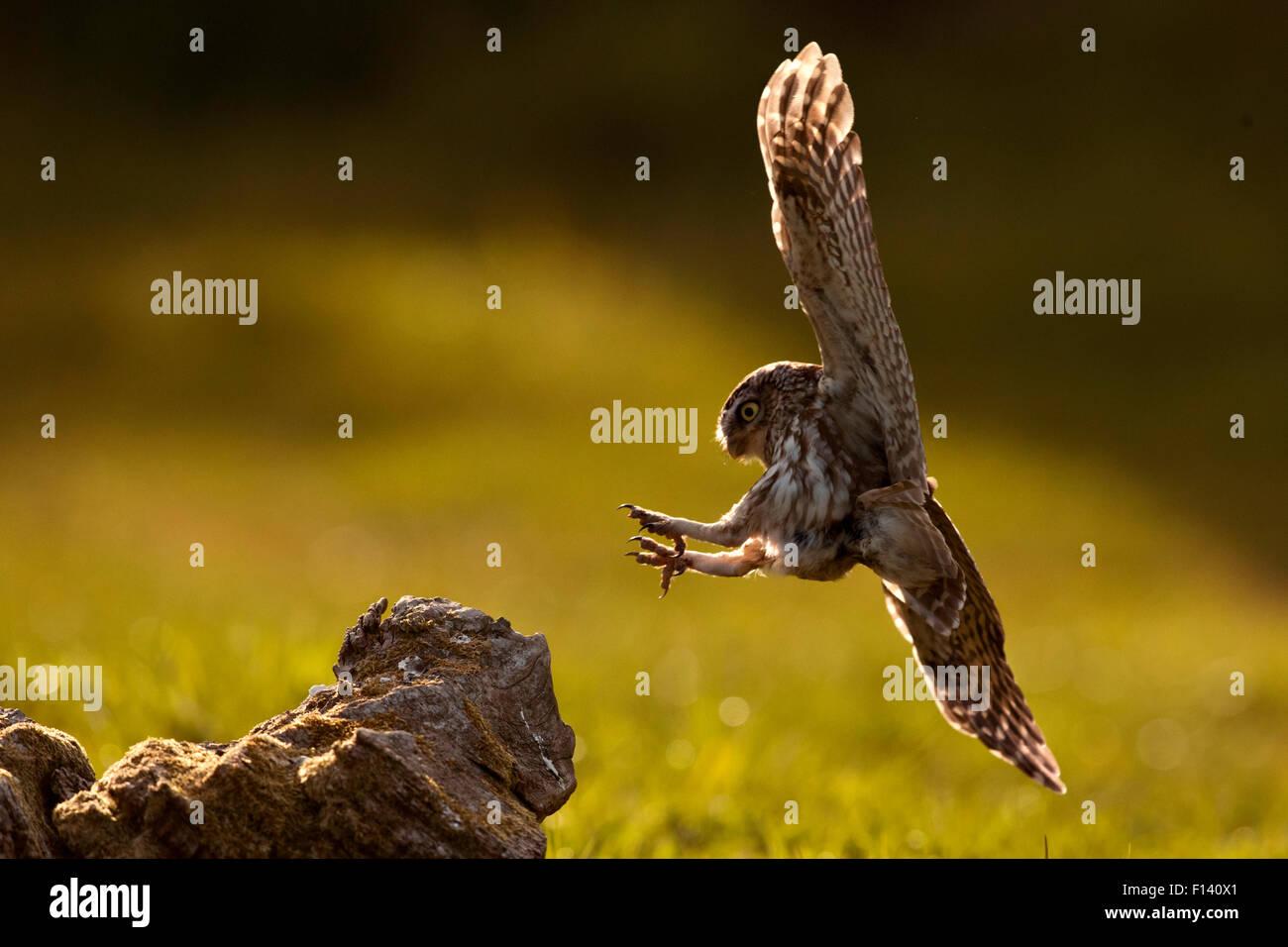 Steinkauz (Athene Noctua) Landung auf Barsch, UK, Mai. Stockbild