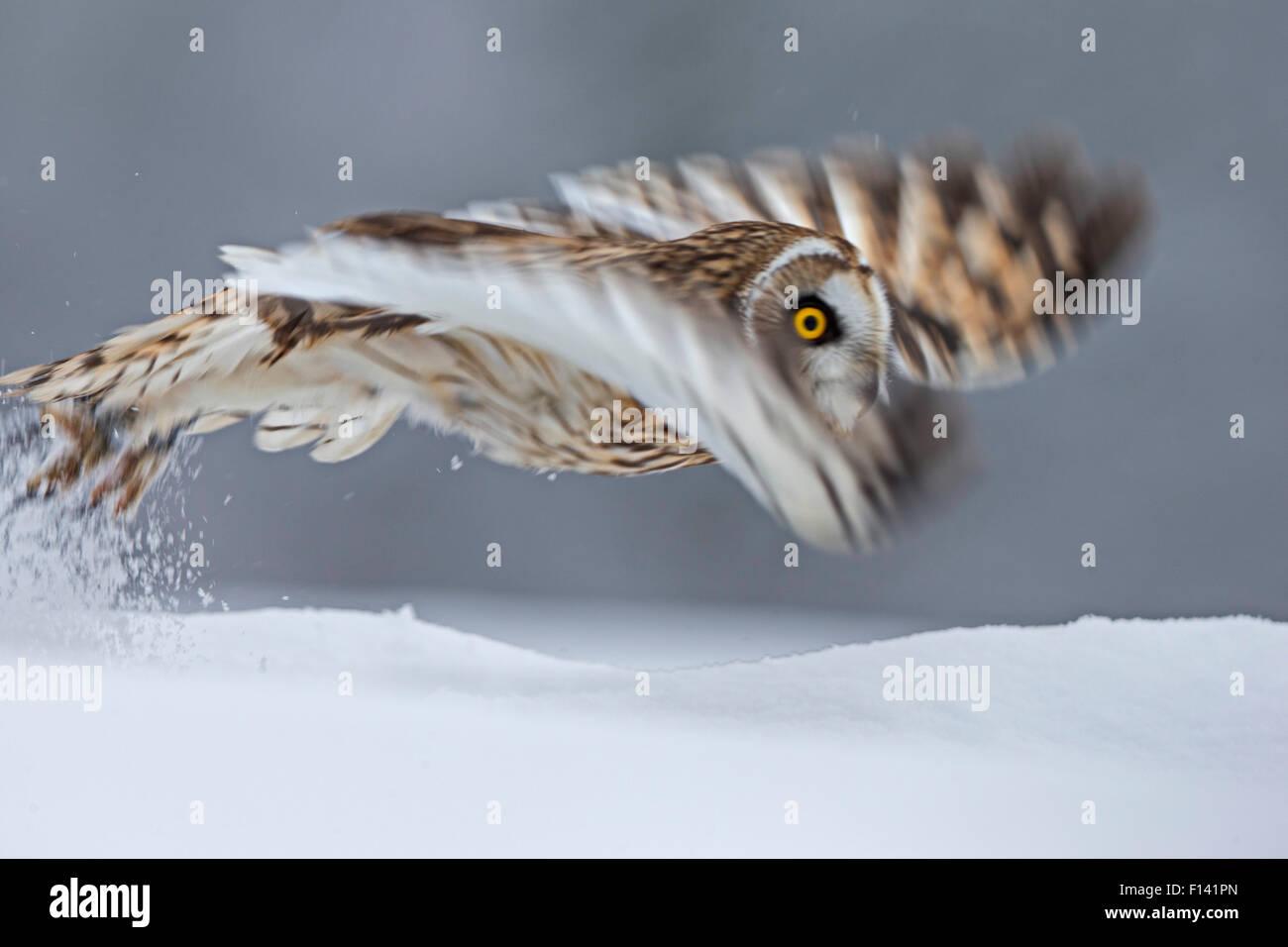Kurze Eared Owl (Asio Flammeus) ausziehen, Bewegungsunschärfe fotografieren, UK, Januar. In Gefangenschaft Stockfoto