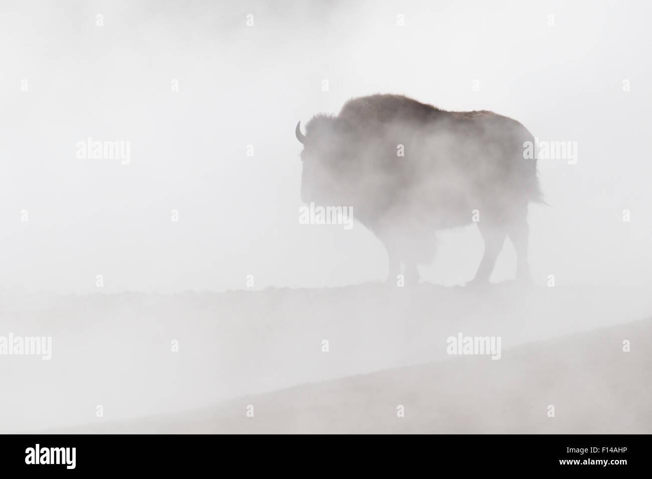 Bisons (Bison Bison) in Dampf aus heißen Quellen, Yellowstone-Nationalpark, Wyoming, USA. Stockbild