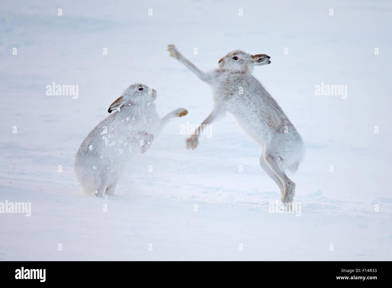 Berg Hasen (Lepus Timidus) Boxen in Schnee, Schottland, Vereinigtes Königreich, Dezember. Stockbild