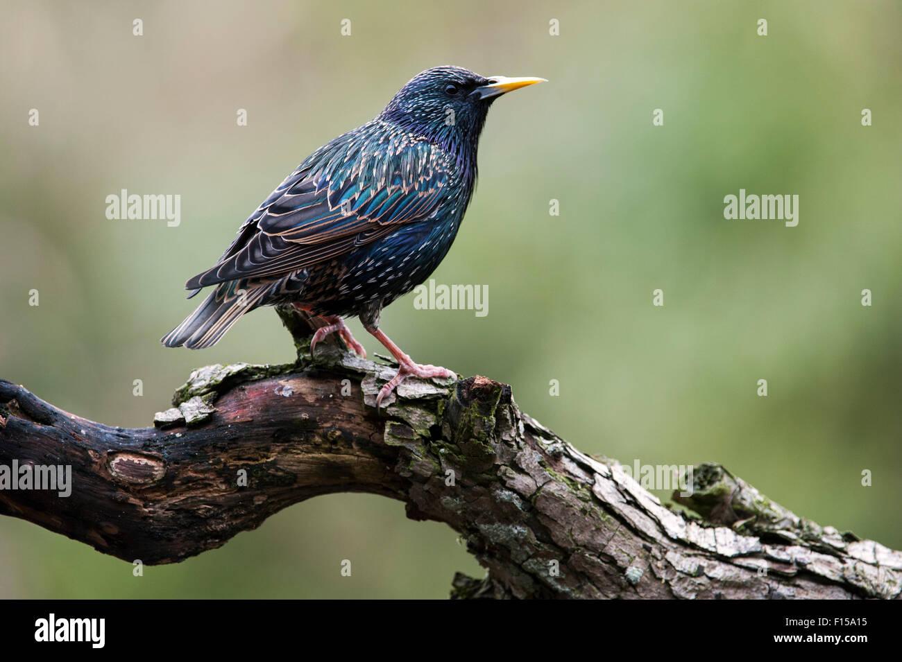 Gemeinsamen Starling / Europäische Star (Sturnus Vulgaris) thront auf Zweig im Frühling Stockbild