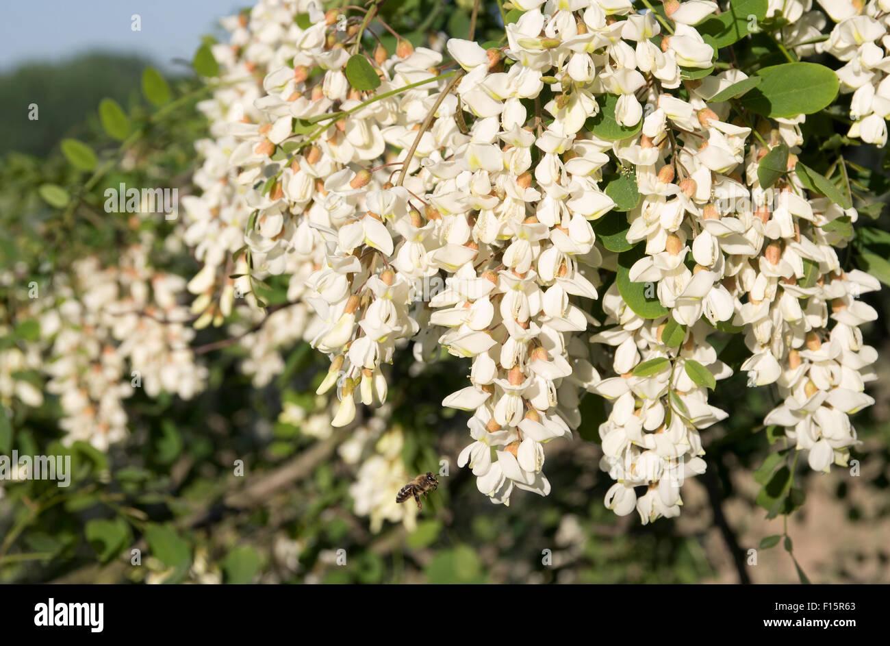 acacia flowers stockfotos acacia flowers bilder alamy. Black Bedroom Furniture Sets. Home Design Ideas