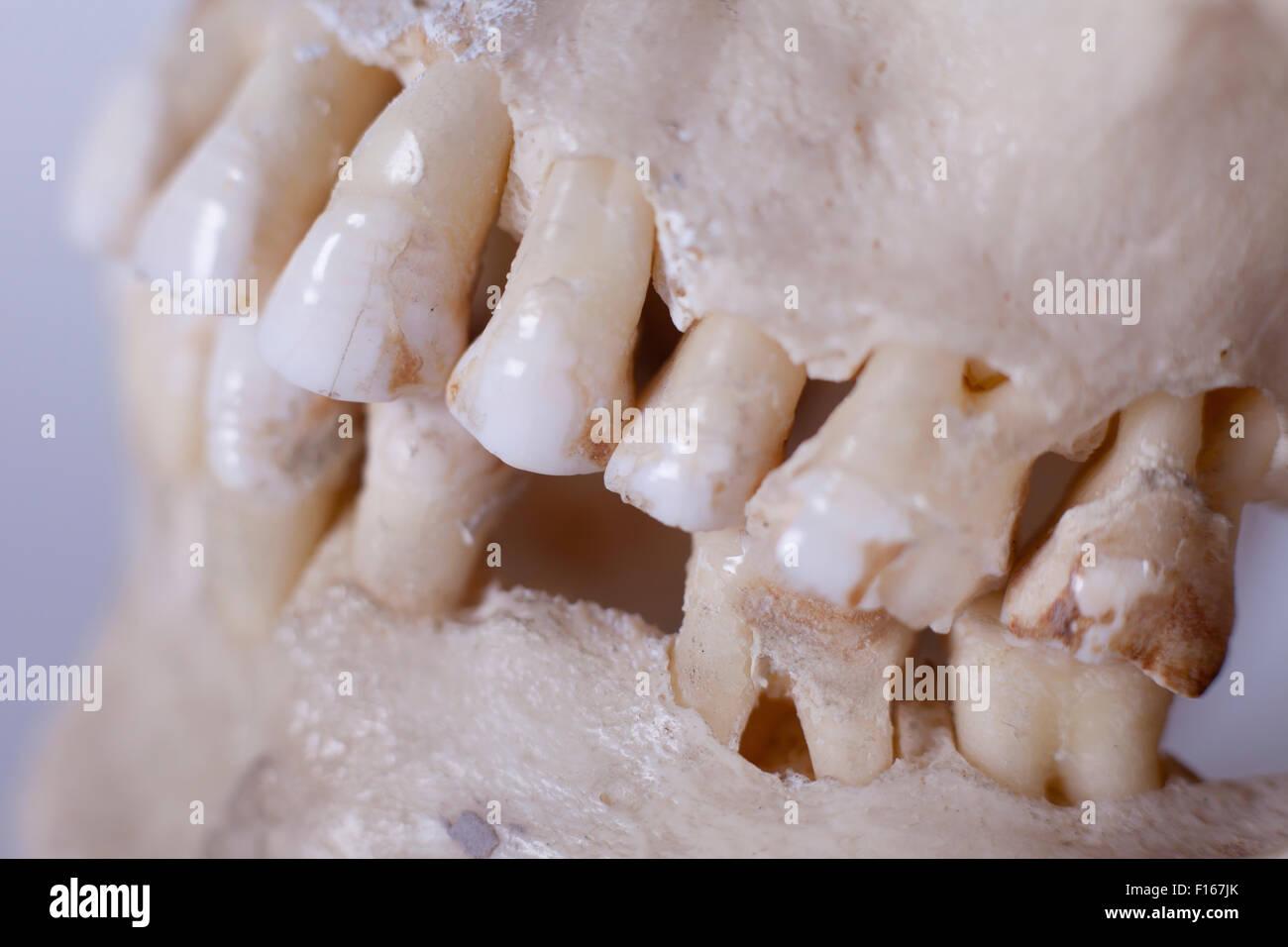 Detail eines menschlichen Schädels Stockfoto