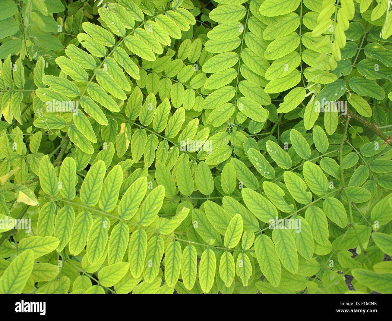 Die hellgrünen Blätter und kleine Akazie mit Tautropfen aus dem ...