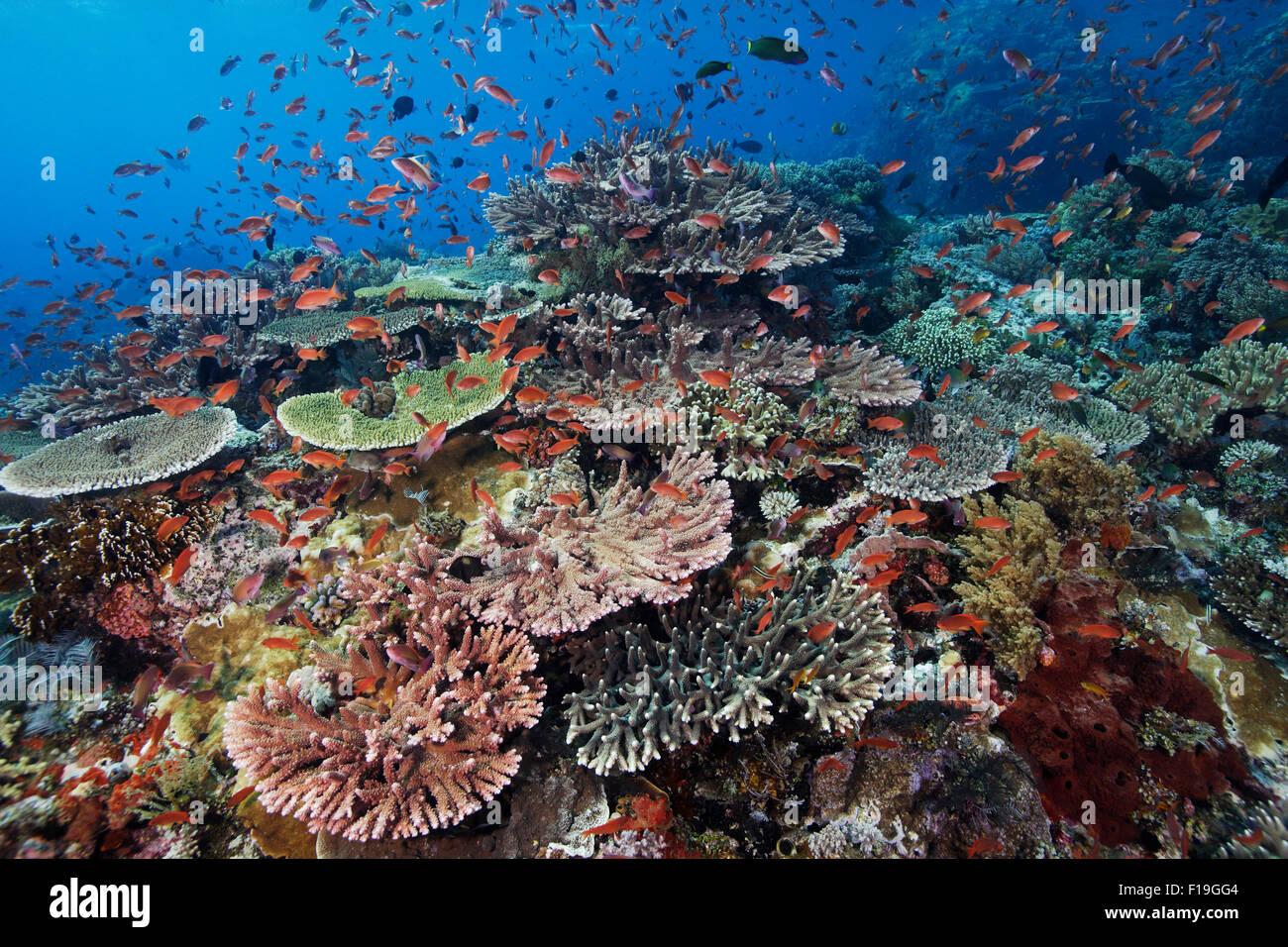 PX0426-D. gesunden Korallen auf entfernten Riff. Indonesien, tropischen Indo-Pazifischen Ozean. Foto Copyright © Stockbild