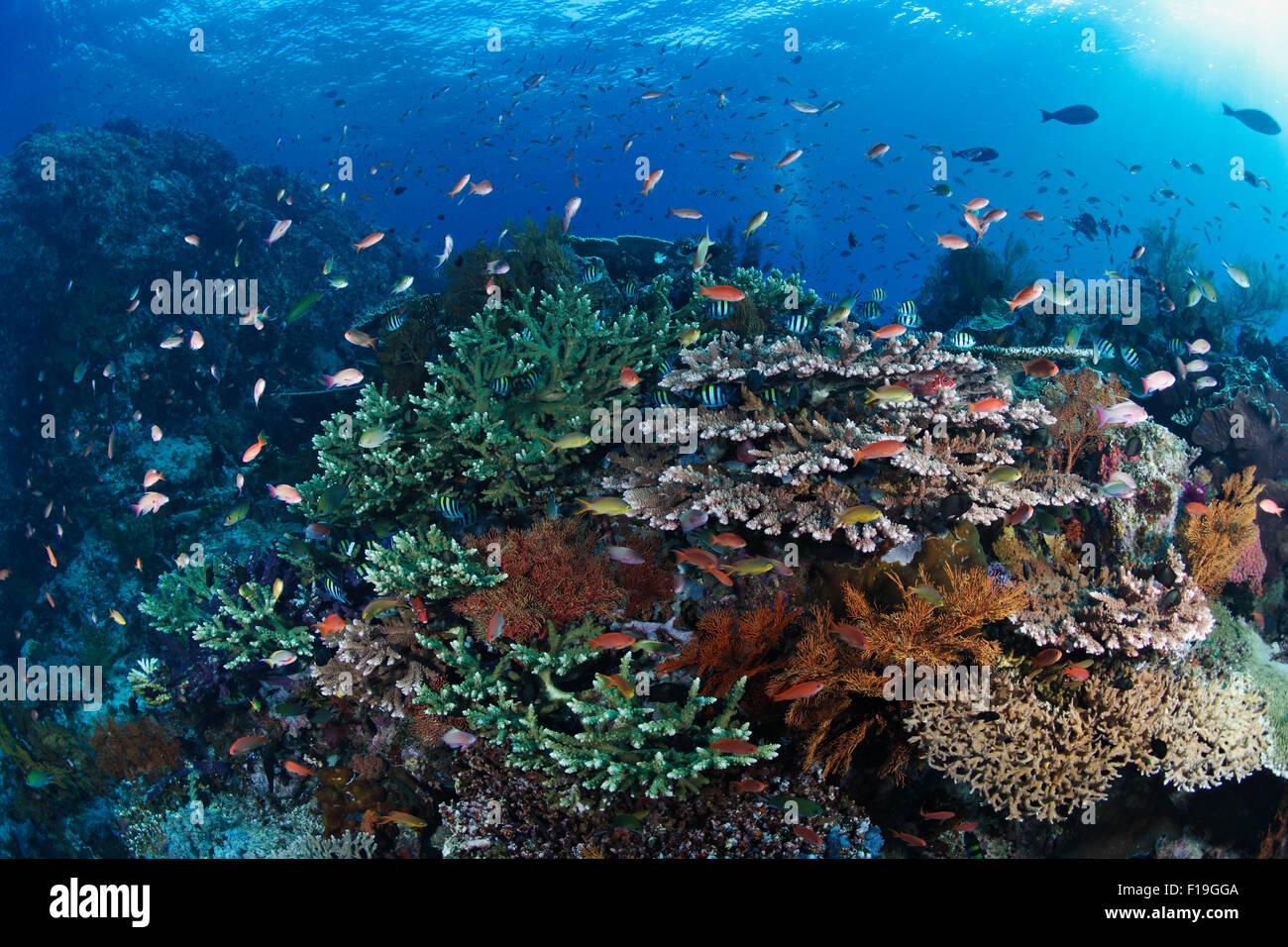 px0660-D. ein gesundes Korallenriff in seiner ganzen Pracht, mit vielen Fischen und Korallen Arten gedeihen. Indonesien, Stockbild
