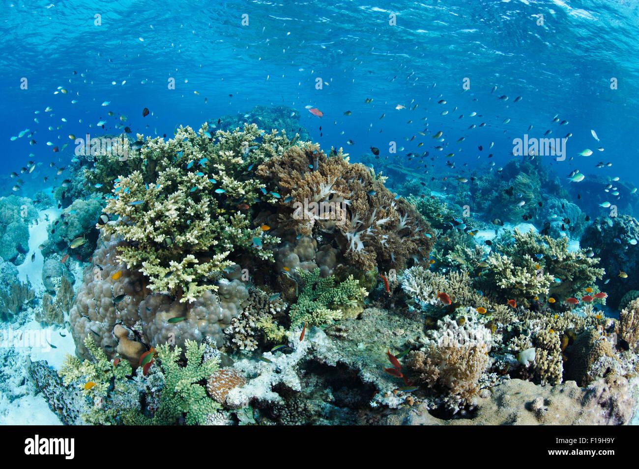 px0679-D. flaches Riff mit vielen Arten von Korallen und Fischen. Indonesien, tropischen Pazifik. Foto Copyright Stockbild