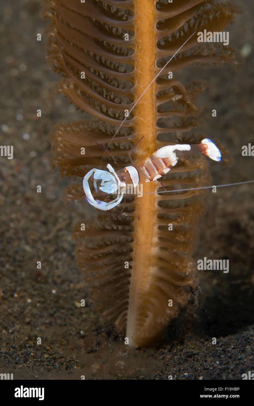px8581-D. Herrliche Anemone Garnelen (Ancylomenes Magnificus), Putzergarnelen, Kommensalen auf Anemonen und hier Stockbild