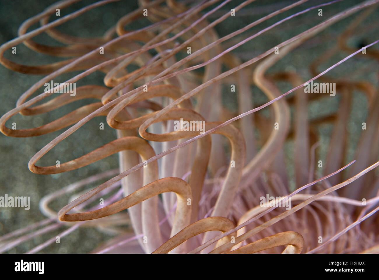 px510242-D. Tube Anemone (Familie Cerianthidae), Nahaufnahme Detail von Tentakeln. Indonesien, tropischen Pazifik. Stockbild