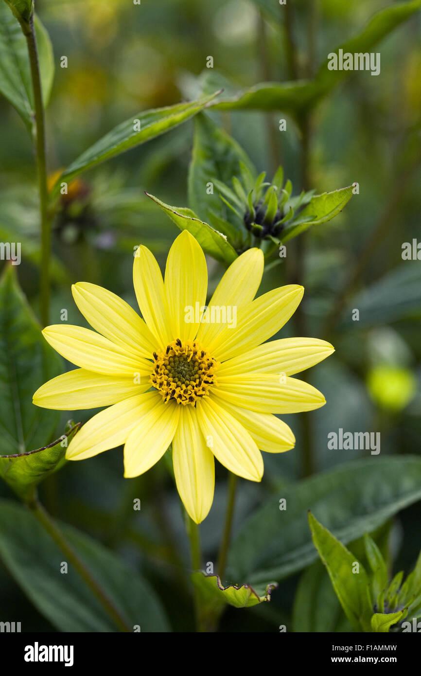 Helianthus 'Lemon Queen'. Mehrjährige Sonnenblumen wachsen in einer krautigen Grenze. Stockbild