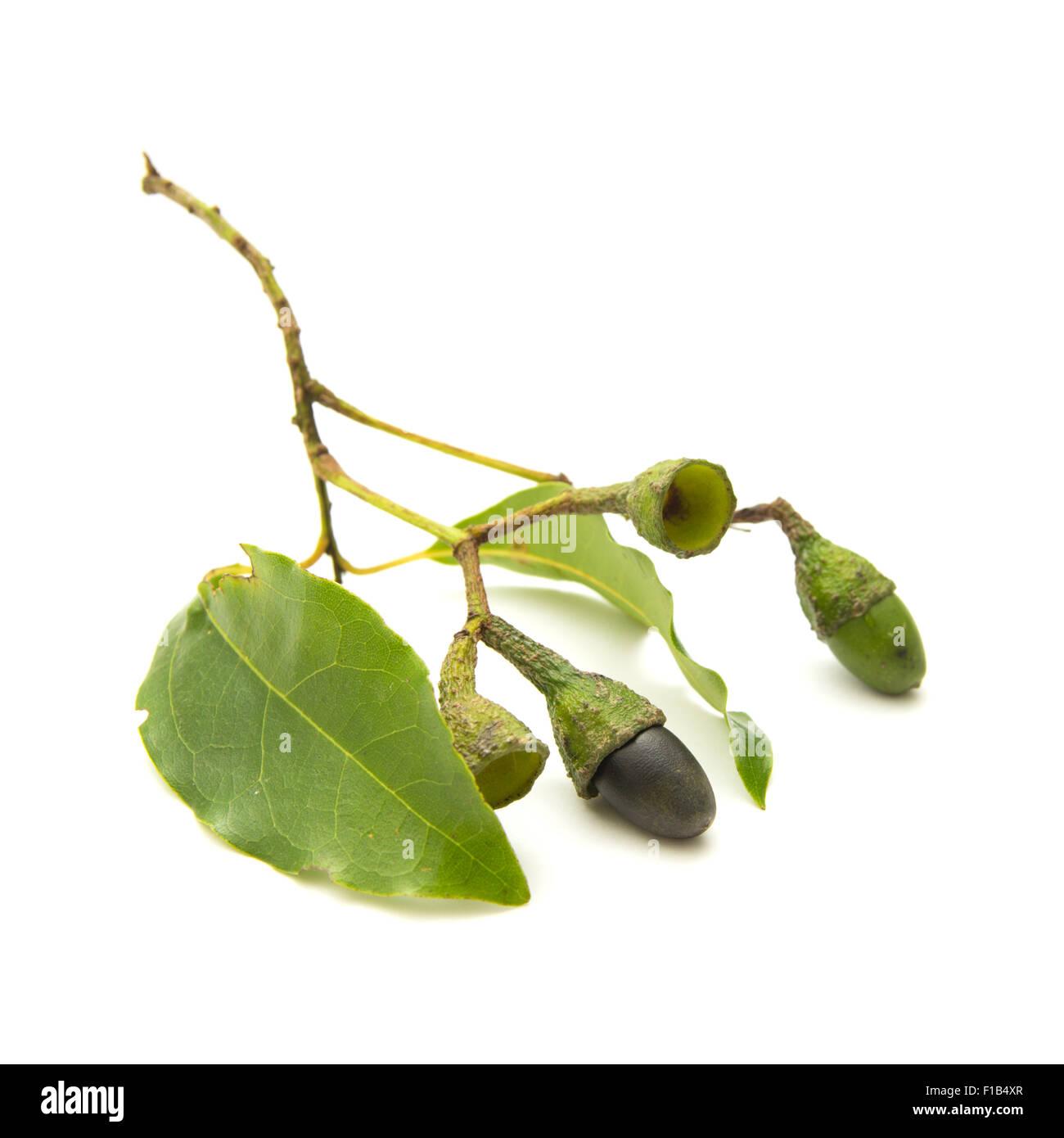 Flora von Gran Canaria - Zweig der Ocotea Foetens oder Tilo, endemisch in Makaronesien, Bestandteil der Laurisilva Stockbild