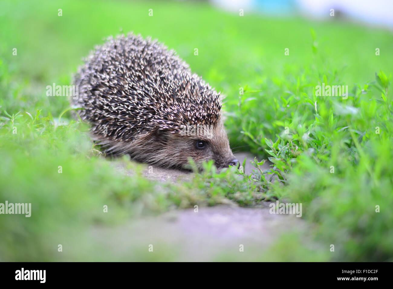 hedgehog ear stockfotos und bilder kaufen  alamy