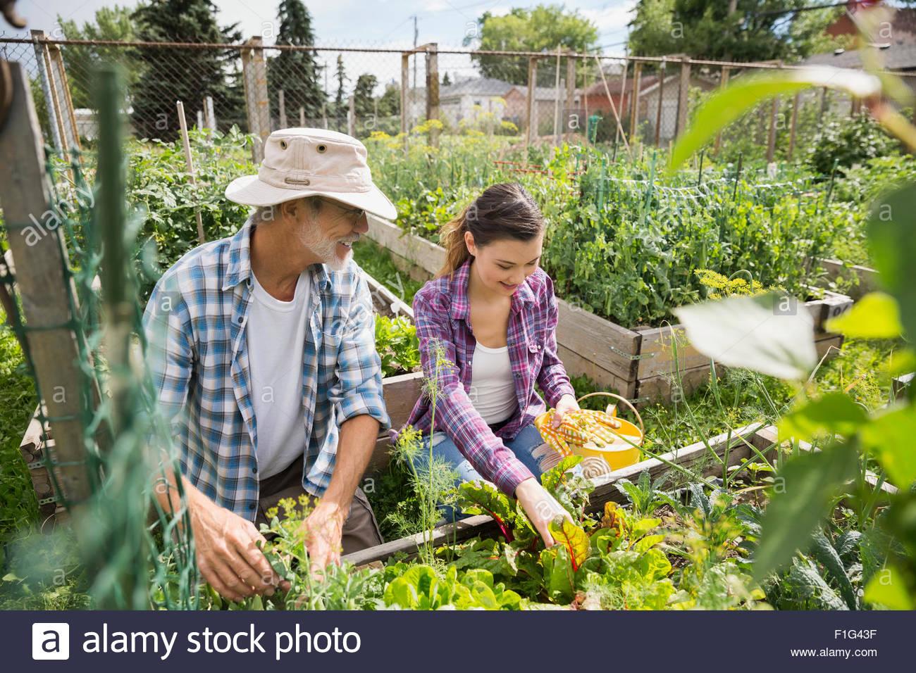 Vater und Tochter tendenziell Gemüsegarten Stockbild