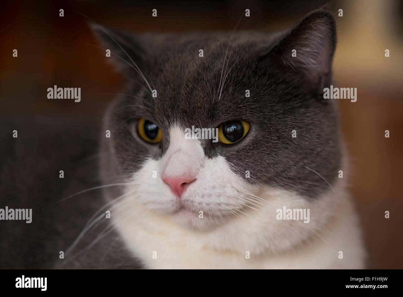 Englisch Kurze Haare Katze Blau Grau Mit Weißer Farbe Gemischt