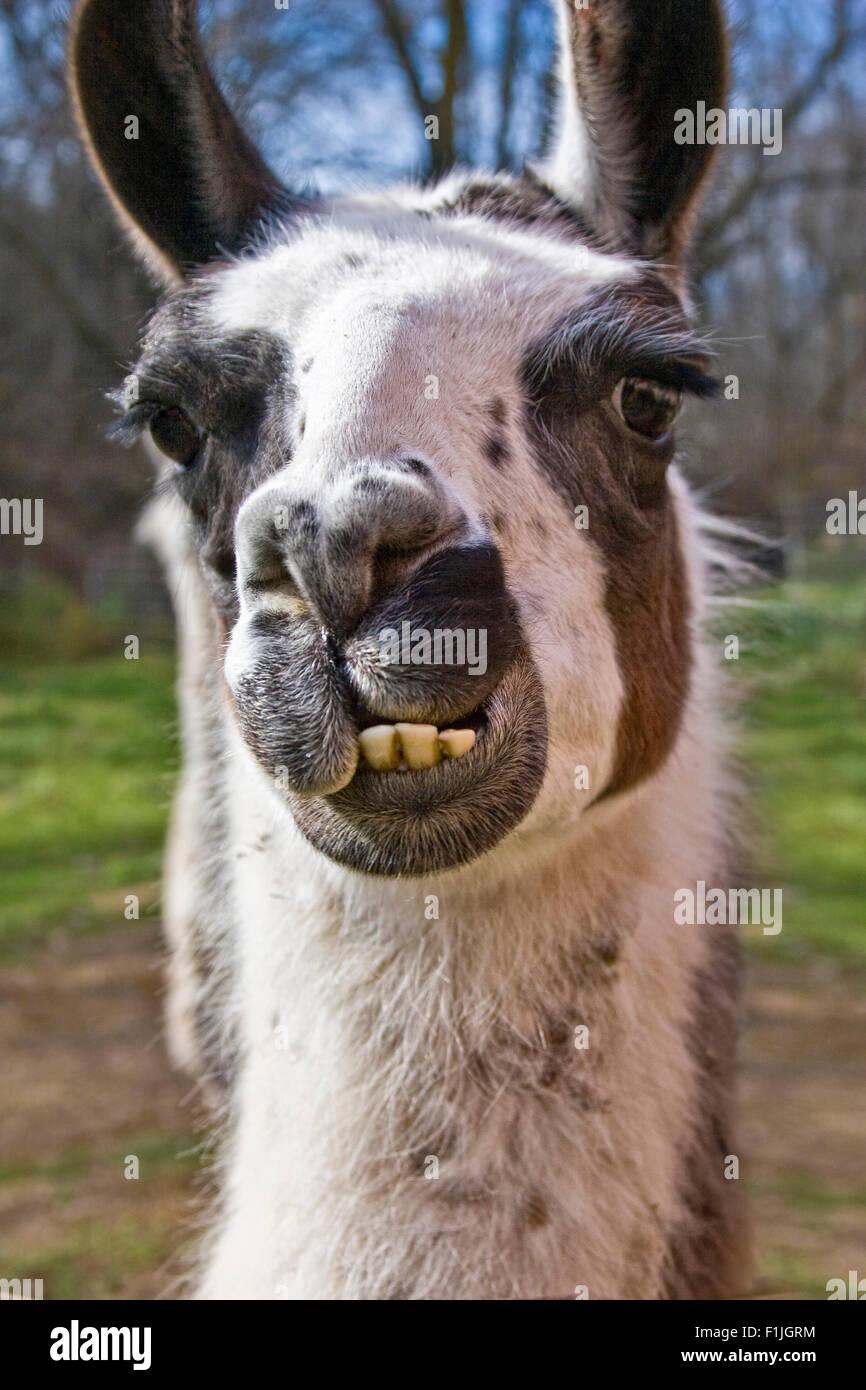 Close-up Portrait von einem Lama Stockbild