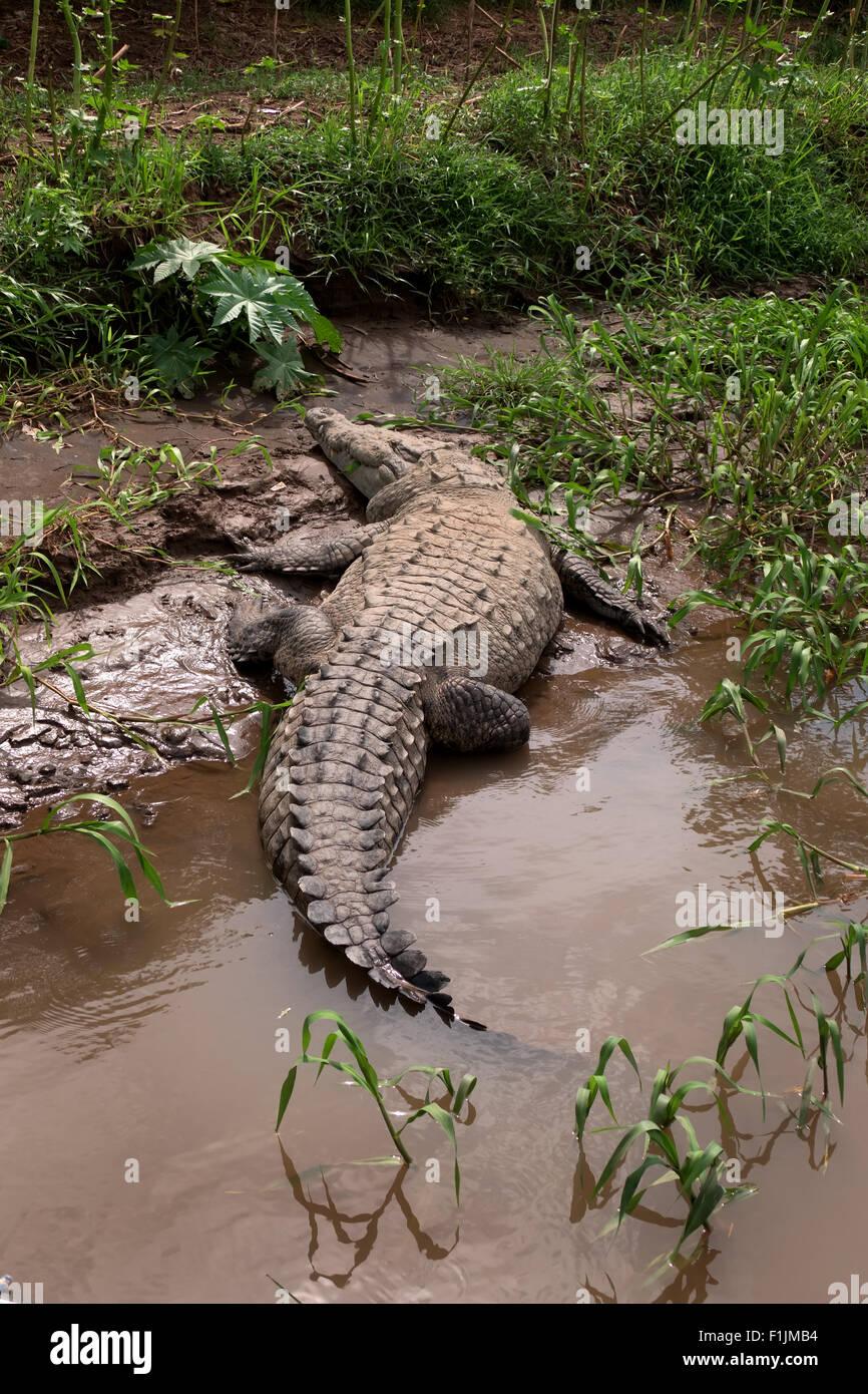 Amerikanisches Krokodil (Crocodylus Acutus), tierische, schlafen auf River Bank, Rio Tarcoles Costa Rica. Freilebender Stockbild