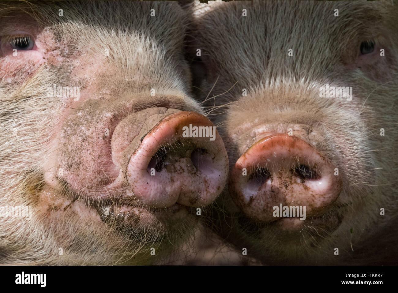 Atemberaubend Schwein Drahtzaun Pläne Ideen - Der Schaltplan ...