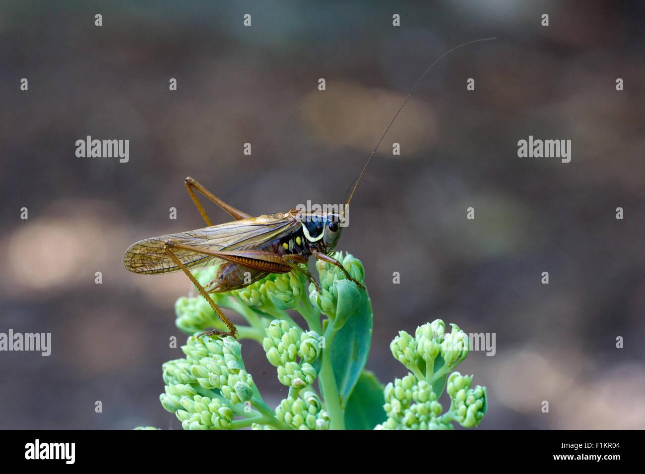 Roesel der Bush-Cricket (Metrioptera Roeselii) im Ice-Werk Stockfoto