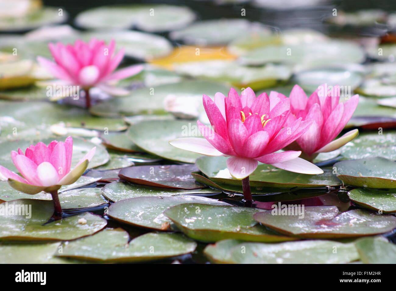 Wasser-Lilien (polaren) Stockbild