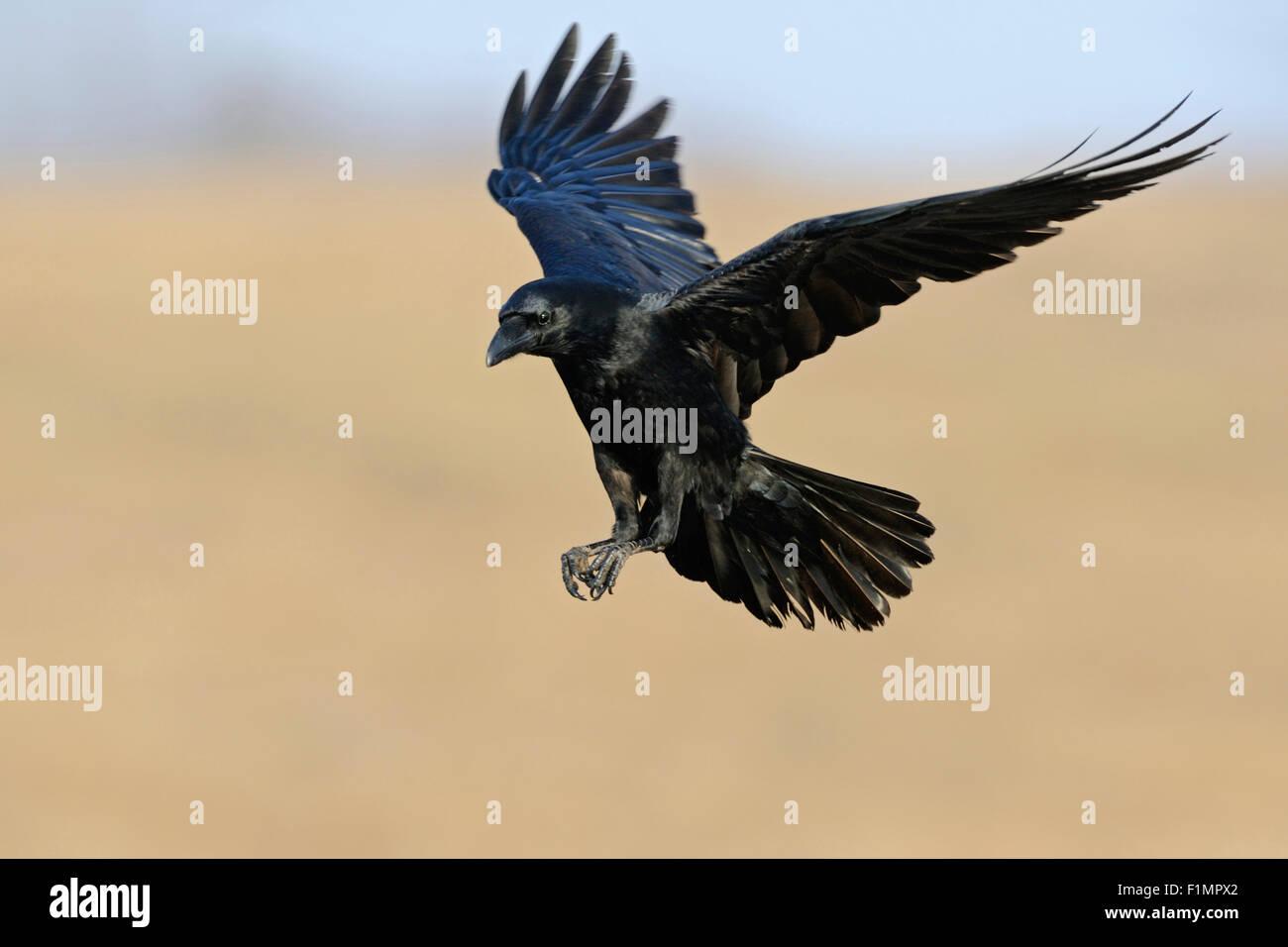 Wunderbare Corvus Corax / gemeinsame Raven / Kolkrabe fliegen. Stockbild