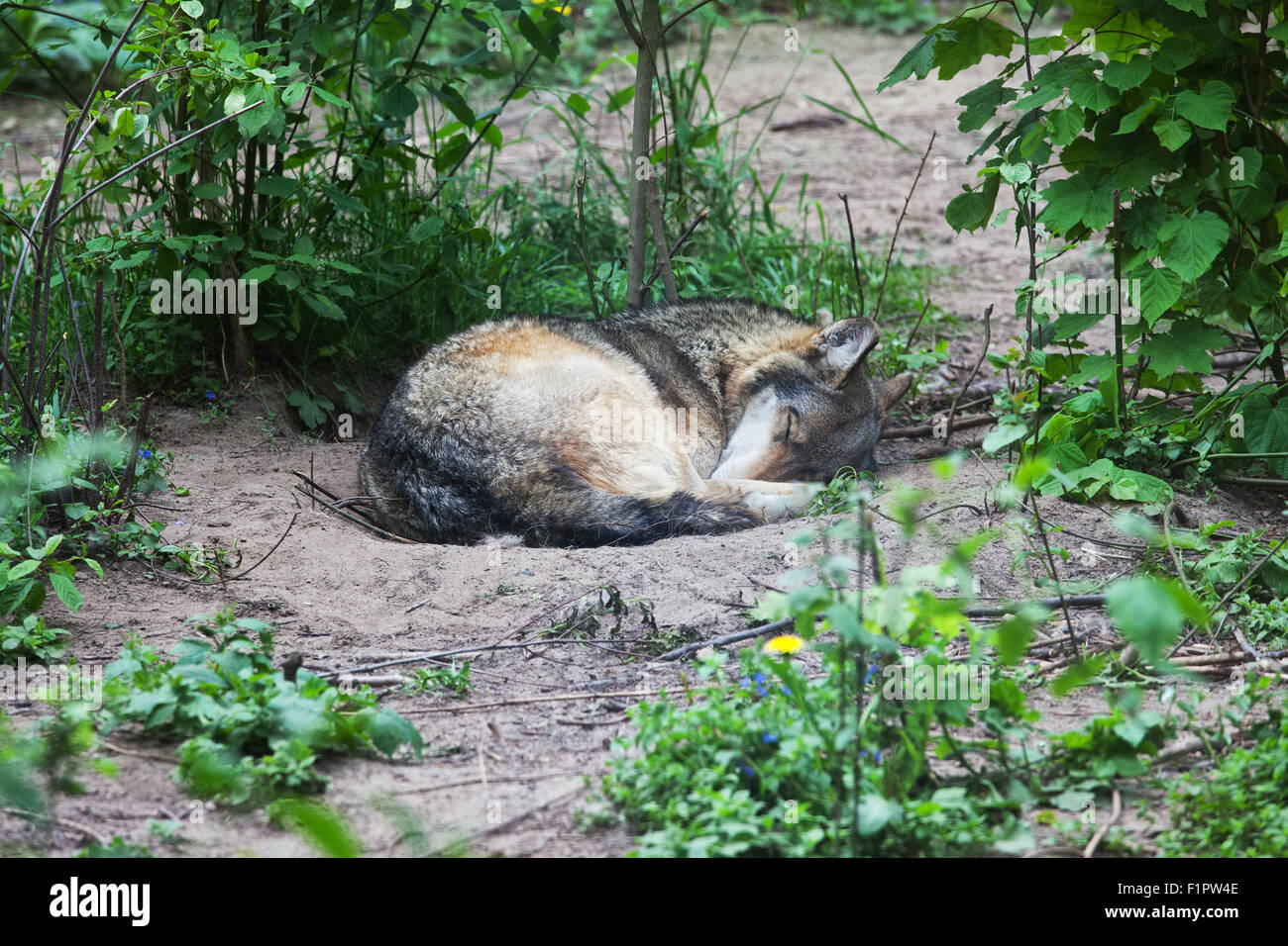 sleeping wolf stockfotos sleeping wolf bilder alamy. Black Bedroom Furniture Sets. Home Design Ideas