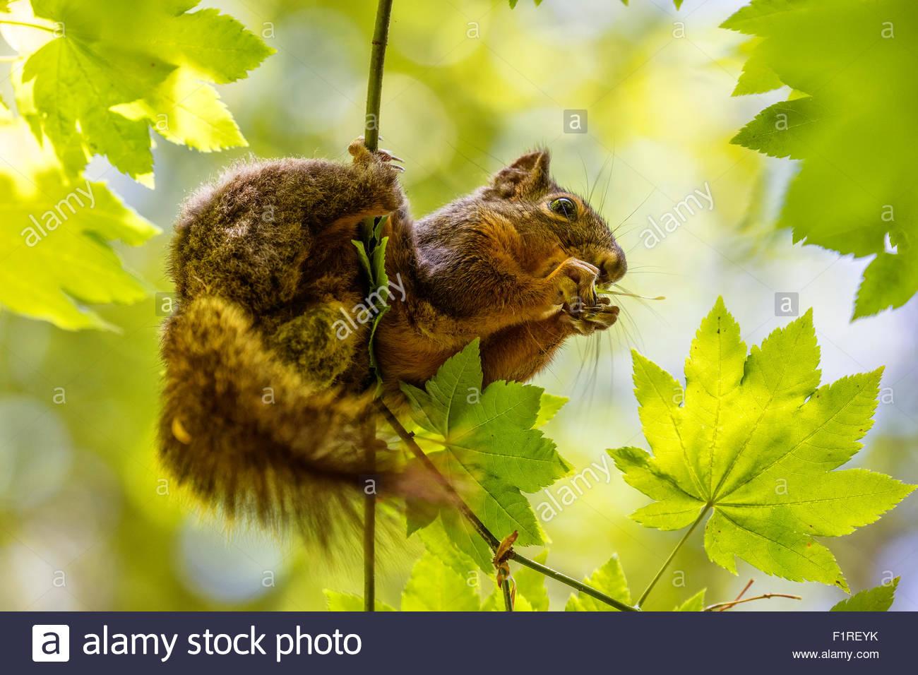 Eine Kaskade Golden Jaguaren Grundeichhörnchen (Spermophilus Saturatus) ernährt sich von Samen aus einem Stockbild