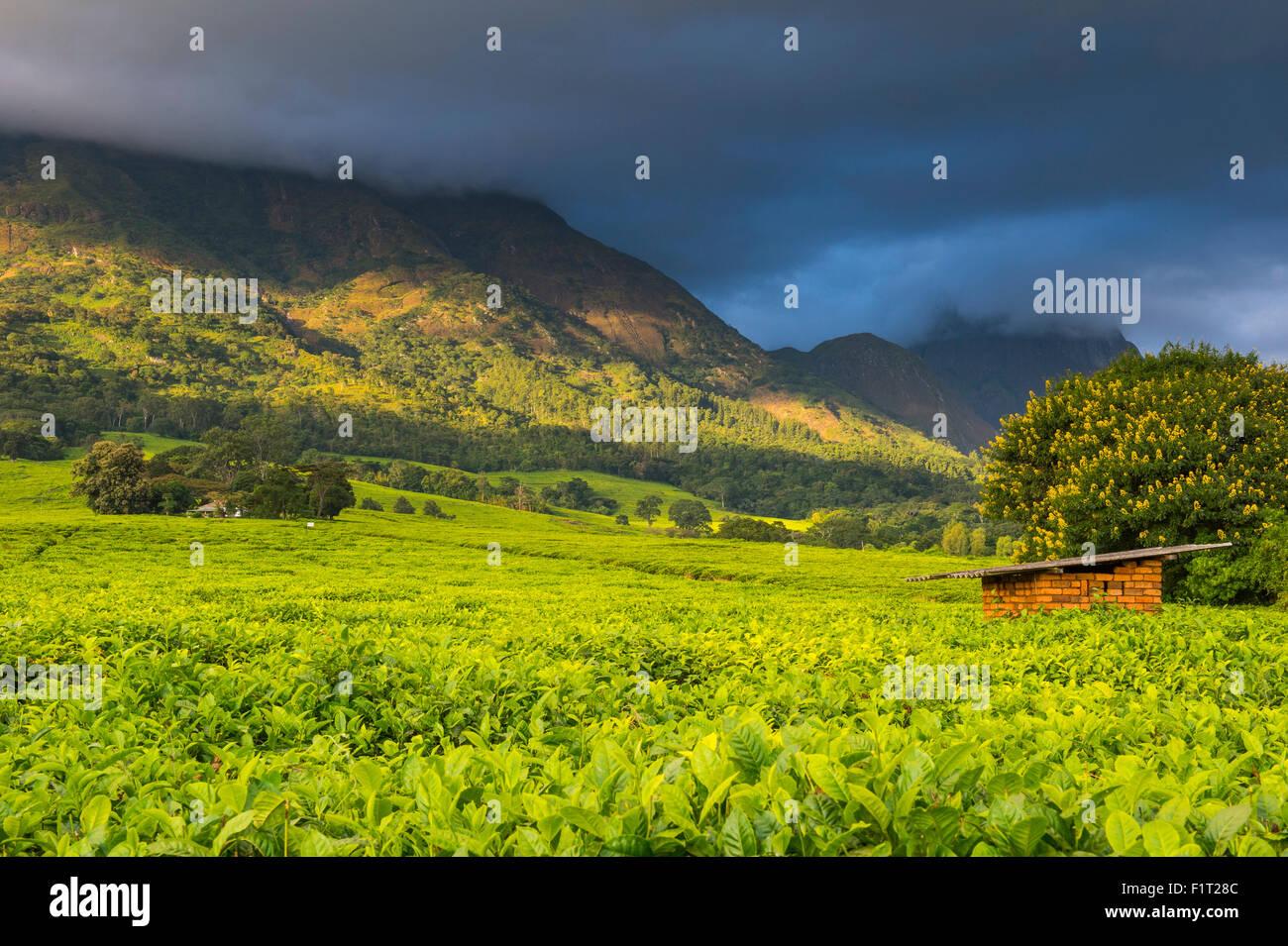 Teeplantage auf Mount Mulanje, Malawi, Afrika Stockbild