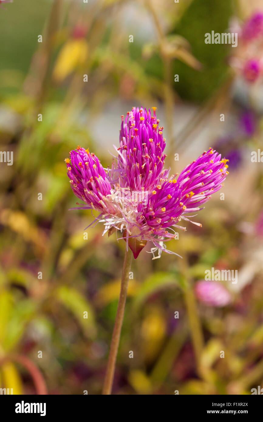 Globus amaranth Blume (Gomphrena Nana) - USA Stockfoto