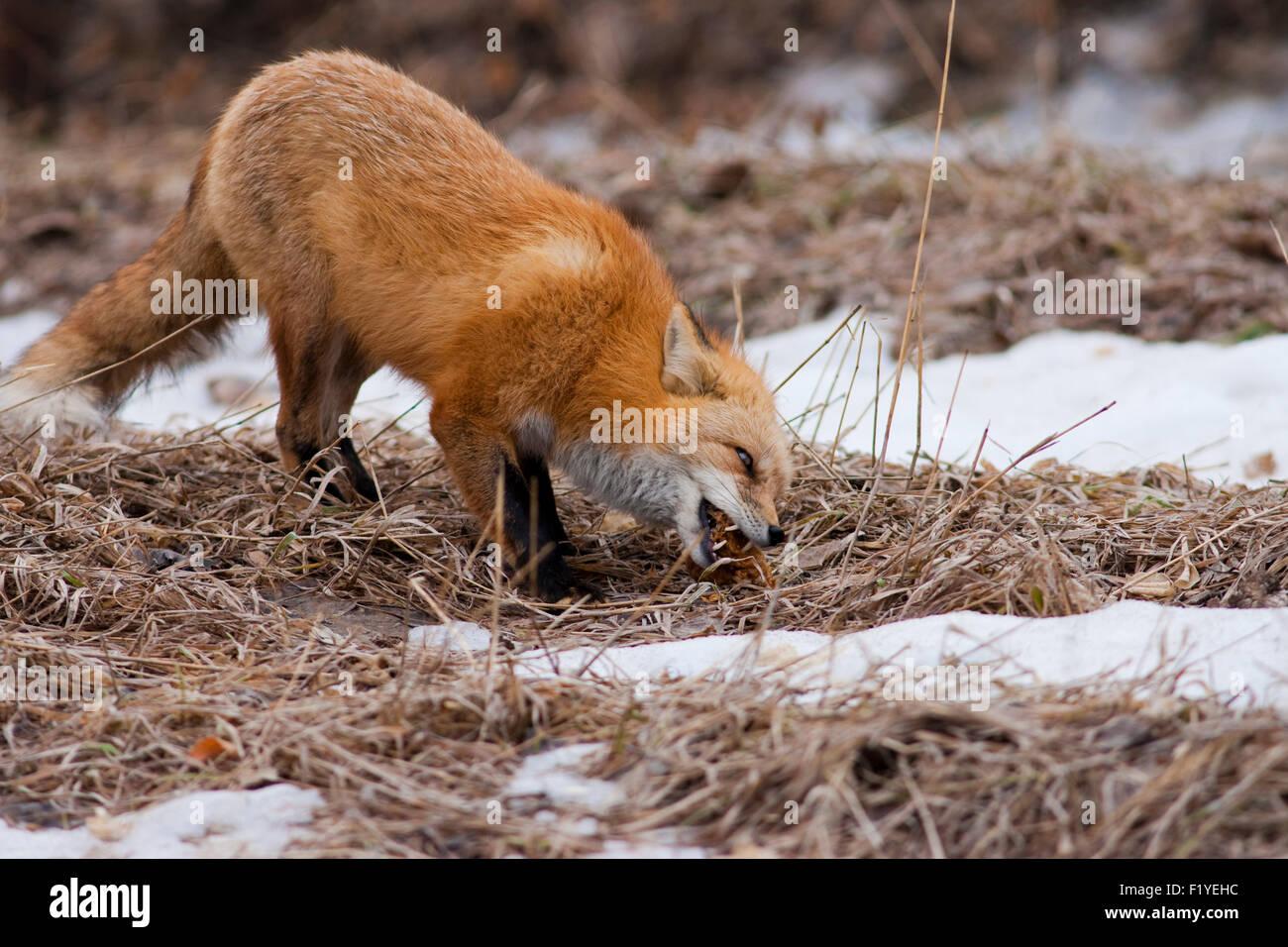 Erste, leicht, erwachsenen Tier, Tiere In freier Wildbahn Stockfoto ...